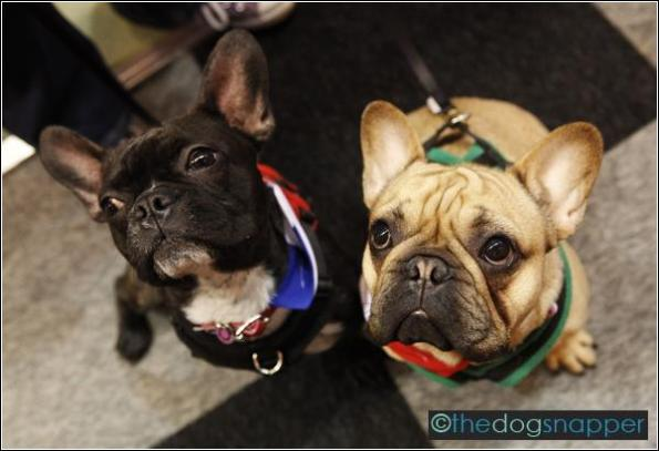 Yoda (right) & Vader, French Bulldogs