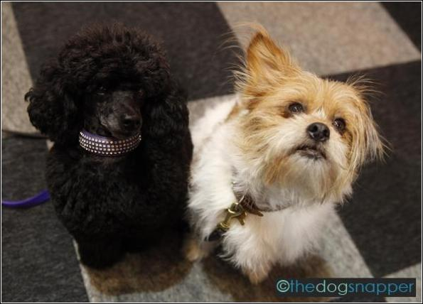Dom, Toy Poodle (left) & Gizmo (Lhasa/Terrier X)