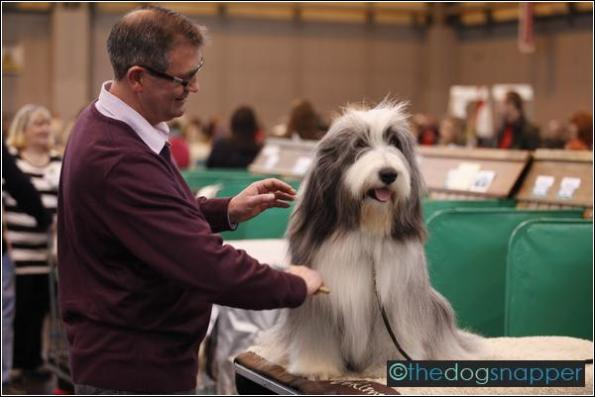 Harley, Bearded Collie