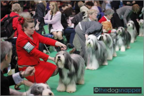 Bearded Collie showing