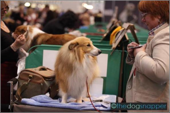 Monty, Shetland Sheepdog
