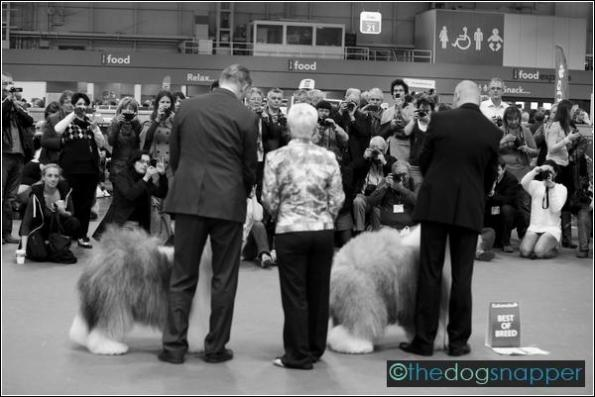 photographing Old English Sheepdog Best in Breed