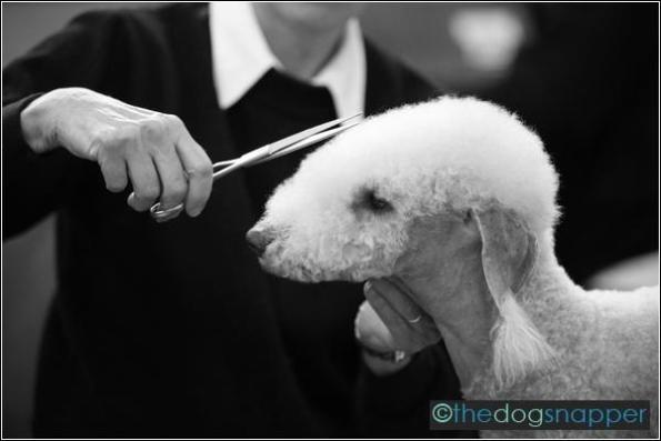 Parker, Bedlington Terrier
