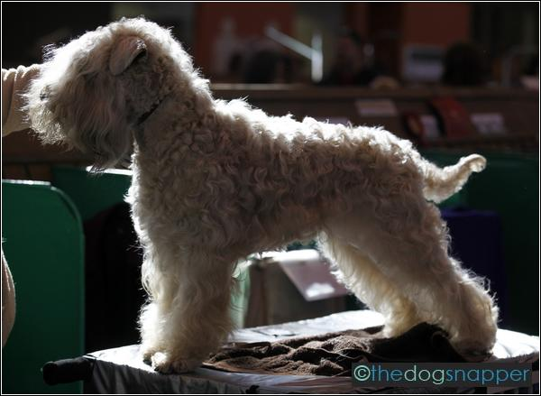 Cactus soft coated wheaten terrier