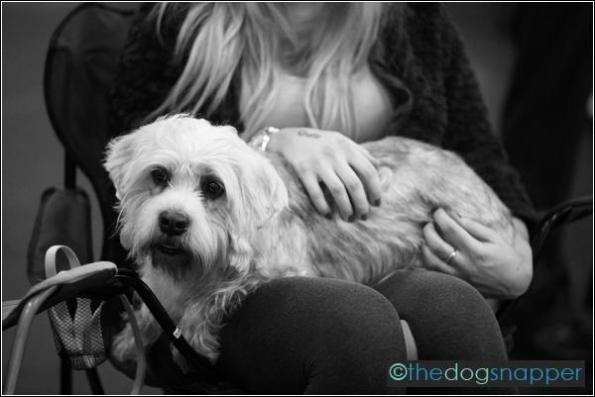 Maddy, Dandie Dinmont Terrier