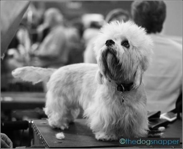 Alfie, Dandie Dinmont Terrier