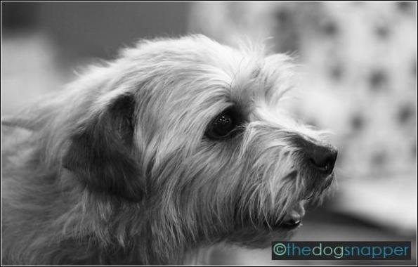Pukka, Norfolk Terrier