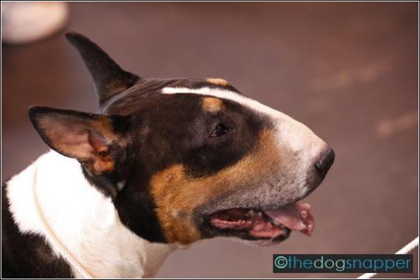 Hoskins, Bull Terrier