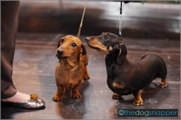 Sasha (left) & Suzie, Miniature Smooth-Haired Daschund