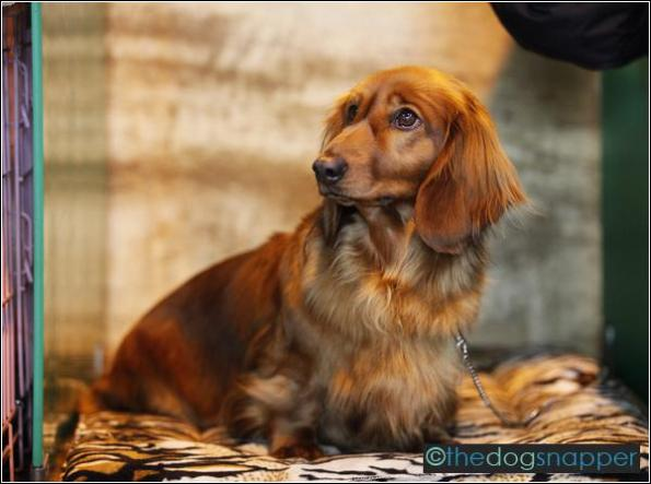 Annabel, Long-Haired Daschund