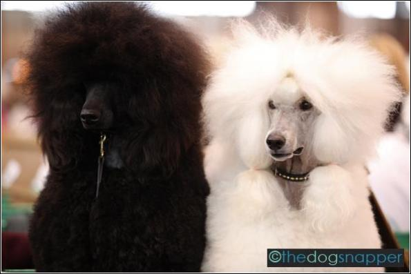 Seven (left) and Madison, Standard Poodle