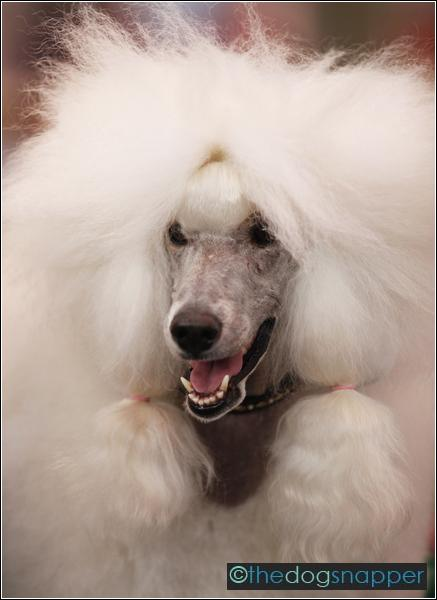 Madison, Standard Poodle