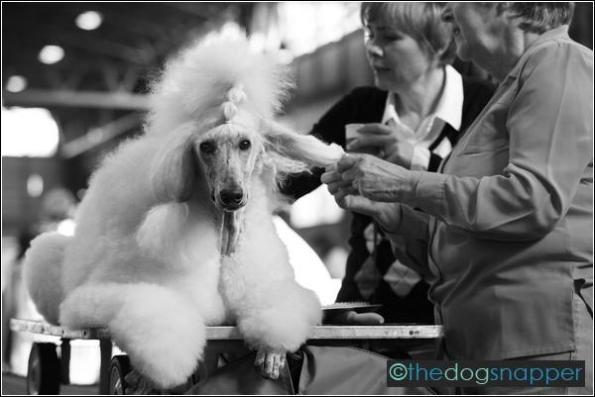 Pearl, Standard Poodle