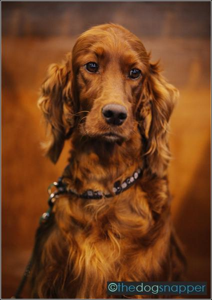Willow, Irish Setter