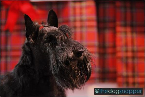 Whiskey, Scottish Terrier