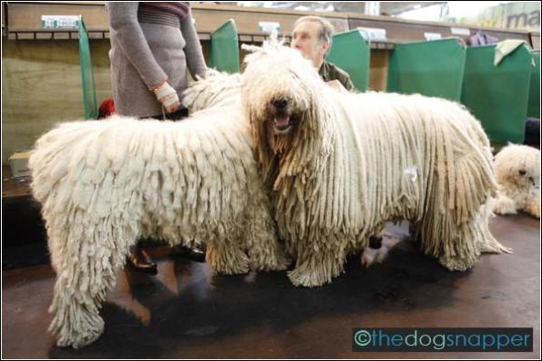 Muki (right) & Fodi, Komondor