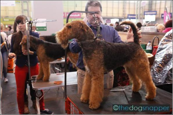 Lily The Pink, Airedale Terrier