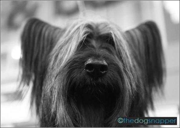 Ghillie, Skye Terrier