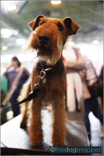 Max, Welsh Terrier