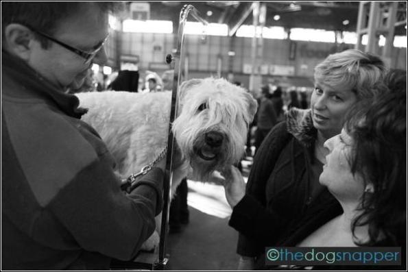 Louie, Soft Coated Wheaten Terrier