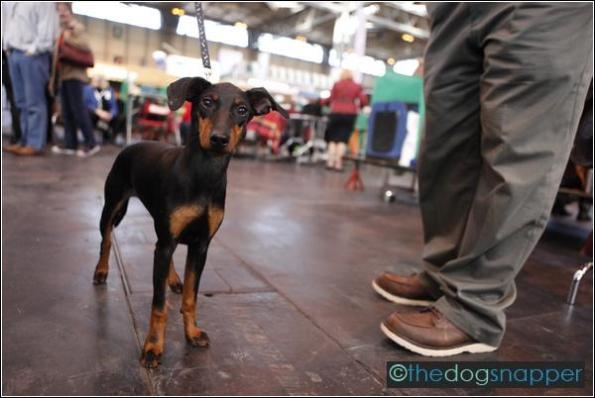 Skye, Manchester Terrier