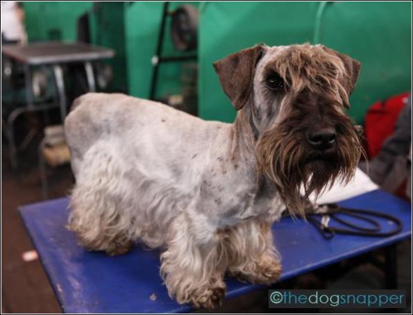 Milly, Cesky Terrier