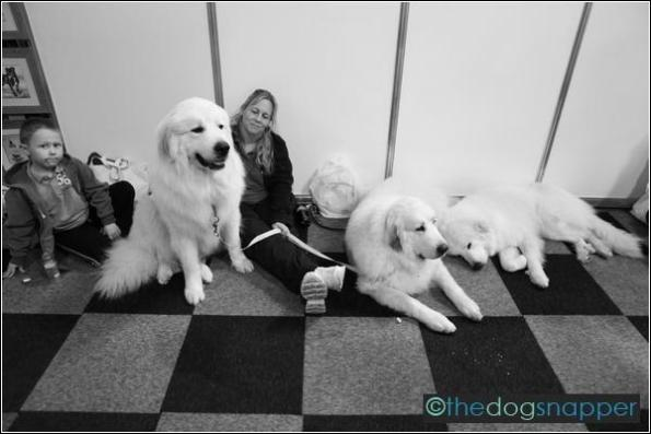 Shane, Mischa & Elsa, Pyrenean Mountain Dogs