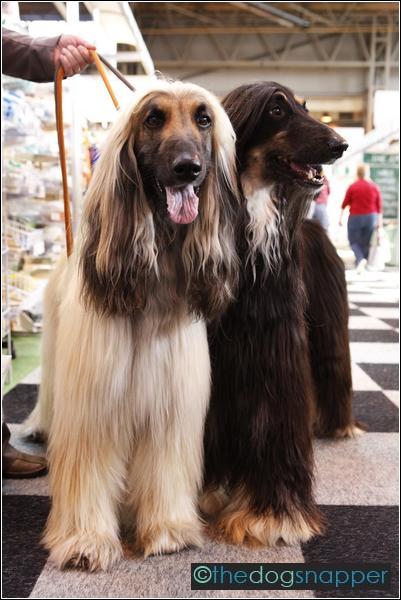 Jasper & Eric, Afghan Hounds