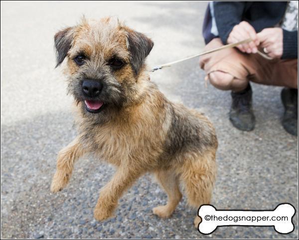 Border Terrier | The Dog Snapper