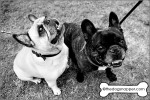 Louis (dark) and Bonnie (light), French Bulldogs
