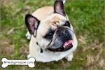 Bonnie, French Bulldog