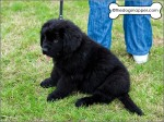 Piper, a Splashpals Working Newfoundland puppy