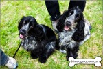 Zola (right) and Maya, Cocker Spaniels