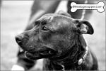 Loki, Staffordshire Bull Terrier