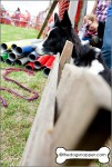 Border Collies watching duck herding