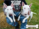 Ruby (on right) and Daisy (puppy), Bull Terriers