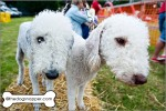 Olive (liver) and Ida (darker), Bedlington Terriers