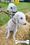 Olive (liver) and Ida (darker), Bedlington Terriers