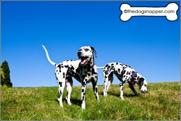 Dalmatian photographer