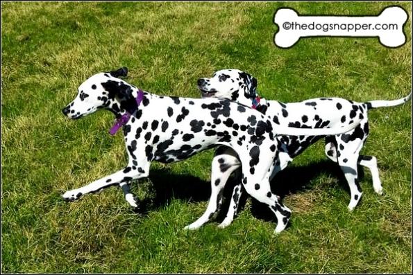pics of Dalmatians