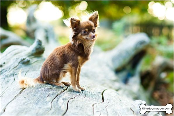 Lucky the Chihuahua