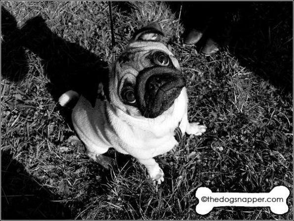 Sidney the Pug