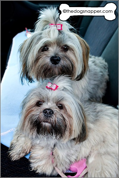 Daisy (at bottom) and Maisy (top), Lhasa Apso