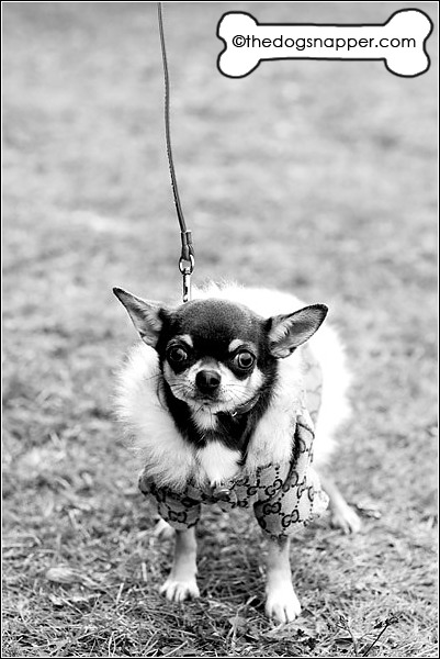 Tinkerbell, Chihuahua