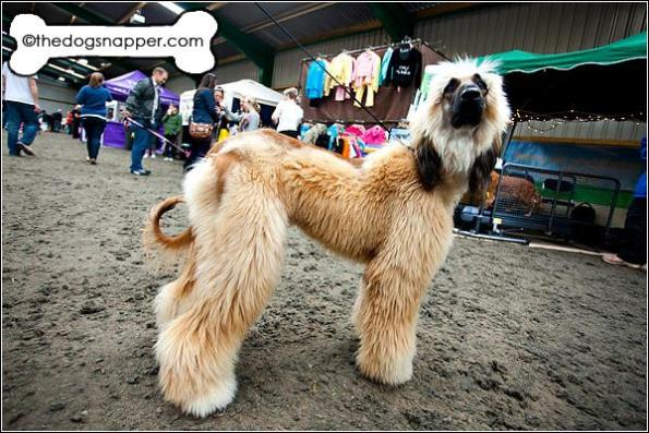 Chica, Afghan Hound