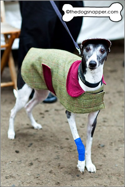 Smudge, Whippet