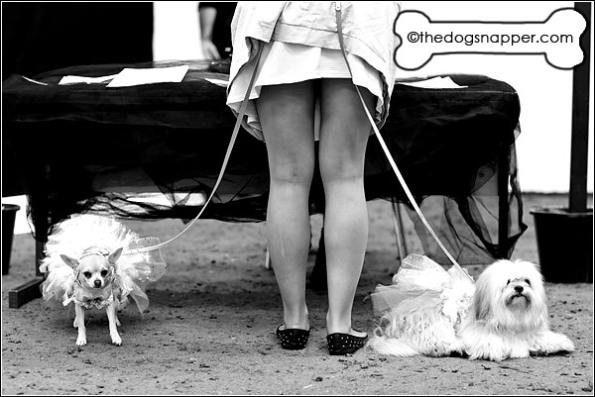 Bella, Chihuahua and Coco, Pomeranian/Shih Tzu X