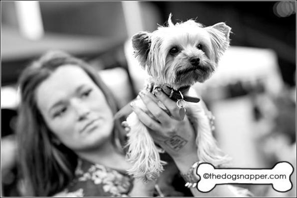 Minnie, Yorkshire Terrier (teacup)
