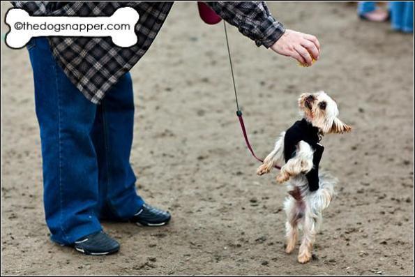 Trockie, Yorkshire Terrier