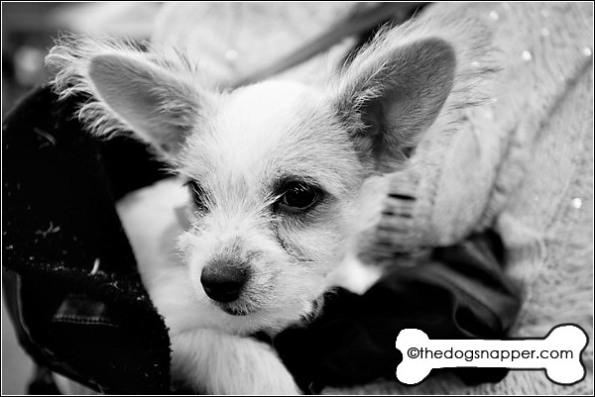 Lola, Chihuahua/Matese X